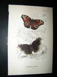 Allen & Kirby 1890's Antique Butterfly Print. Vanessa Antiopa